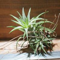 チランジア / イオナンタ ヴァンハイニンギー L (T.ionantha var. vanhyningii) *A01/Jan27