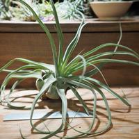 チランジア / ストレプトフィラ L (T.streptophylla) *A01/Jun22-01