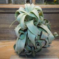 チランジア / ストレプトフィラ XLサイズ (T.streptophylla) *A02/Dec11