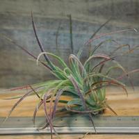 チランジア / プルイノーサ × ベルティナ (T.pruinosa × T.velutina) *A02/Oct24