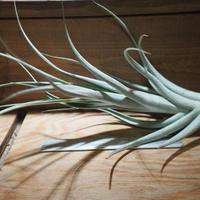 チランジア / アルビダ × インターメディア (T.albida × T.intermedia) *A01/Jul05