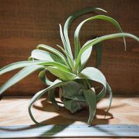 チランジア / ストレプトフィラ M (T.streptophylla) *A01/Jul17-01