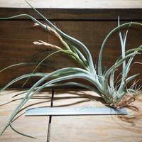 チランジア / アリザジュリアエ × プルイノーサ (T.ariza-juliae × T.pruinosa) *A01/Apr10