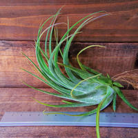 チランジア / セレリアナ × シルシナトイデス (T.seleriana × T.circinnatoides)