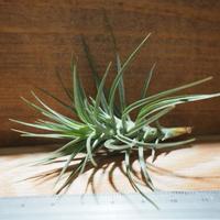 チランジア / テヌイフォリア オープンフォーム (T.tenuifolia 'Open Form') *A01/Feb23