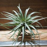 チランジア / ストリクタ スティッフパープル (T.stricta 'Stiff Purple') *A01/Apr25