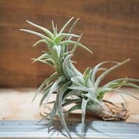 チランジア / ラティフォリア (T.latifolia) *A01/Jul25