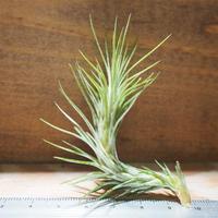 チランジア / フンキアナ S (T.funkiana) *A01/Mar20
