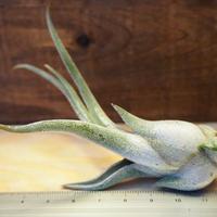 チランジア / カプトメドーサ S (T.caput-medusae) *A02/J02