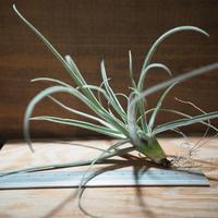 チランジア / ストレプトカルパ シックリーフ (T.streptocarpa 'Thick Leaf') *A01/Feb28