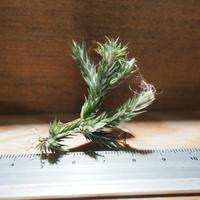 チランジア / ペディセラータ (T.pedicellata) *A01/Apr04