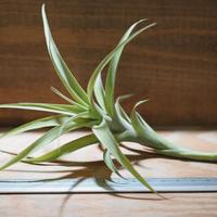 チランジア / ラティフォリア カウレセント (T.latifolia  var.  caulescent) *A01/Aug24