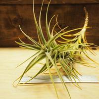 チランジア / ラティフォリア トールスター (T.latifolia 'Tallstar') *A02/J07