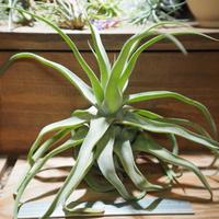 チランジア / ストレプトフィラ XL (T.streptophylla) *A01/Jun22-02