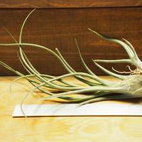 チランジア /  ブルボーサ × プエブレンシス (T.bulbosa × T.pueblensis) *A02/Se21