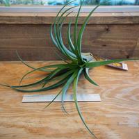 チランジア / ストレプトフィラ Hybrids No.5738 (T.streptophylla Hybrids No.5738) *A02/Se19