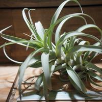チランジア / ロゼオスカパ L (T.roseoscapa) *A01/Apr25