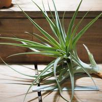 チランジア / ラティフォリア メジャー XL (T.latifolia  var. major) *A01/Aug24