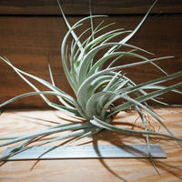 チランジア / レクルヴィフォリア × ガルドネリー (T.recurvifolia × T.gardneri) *A01/Mar28