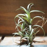 チランジア / ナナ (T.nana) *A01/Feb23