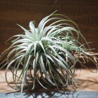 チランジア / テクトルム ピンクッション (T.tectorum 'Pincushion') *A01/Aug08