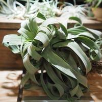 チランジア / ストレプトフィラ XXL (T.streptophylla)  ★タイ農場 *A01/Mar20
