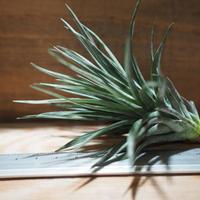 チランジア / ストリクタ グリーンゴッドレス (T.stricta 'Green Goddess') *A01/Feb23