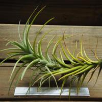 チランジア / ラティフォリア トールスター (T.latifolia 'Tallstar')