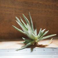チランジア / アルゲンチナ (T.argentina) *A01/Jun22