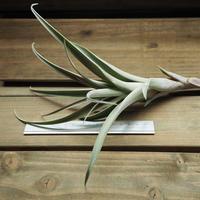 チランジア / ロゼオスカパ Lサイズ (T.roseoscapa)