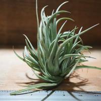 チランジア / テヌイフォリア ブロンズチップ (T.tenuifolia 'Bronze Tip') *A01/May31