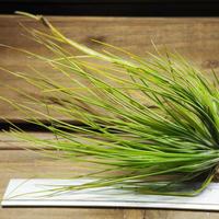 チランジア / セタセア (T.setacea)