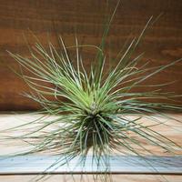チランジア / フィリフォリア (T.filifolia) *A01/Jun10