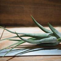 チランジア / パウシフォリア (T.paucifolia) *A01/Jan14