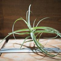 チランジア / アリザ (T.arhiza) *A01/Mar09