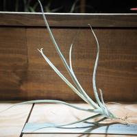 チランジア / カリギノーサ × クロカータ (T.caliginosa × T.crocata) *A01/Apr10