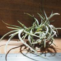 チランジア / クロカータ CL (T.crocata) *A01/May01