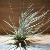 チランジア / プルモーサ (T.plumosa) *A01/May15-01