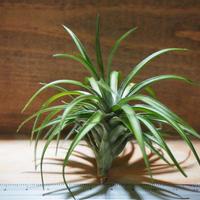 チランジア / テヌイフォリア パープルファン (T.tenuifolia 'Purple Fan') *A01/Jun13