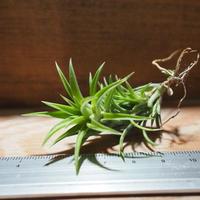 チランジア / ネグレクタ S (T.neglecta) *A01/Apr15
