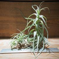チランジア / ストラミネア トールホワイト (T.straminea 'Tall White') *A01/Nov26