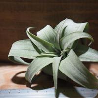 チランジア / ストレプトフィラ M (T.streptophylla) *A01/ May01-02