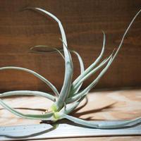 チランジア / ストレプトカルパ シックリーフ (T.streptocarpa 'Thick Leaf') *A01/Dec27