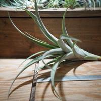 チランジア / ロゼオスカパ L (T.roseoscapa) *A01/Feb23