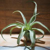 チランジア / ストレプトフィラ S (T.streptophylla) *A01/Jun19-02