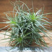 チランジア / ストリクタ グレイミスト (T.stricta 'Gray Mist') *A02/Feb02