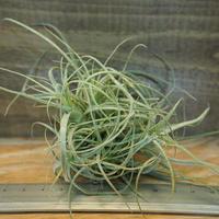 チランジア / ストラミネア ブッシュ (T.straminea 'Bush') *A02/Dec11