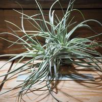 チランジア / レクルヴィフォリア × ガルドネリー XL (T.recurvifolia × T.gardneri) *A01/May27
