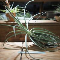 チランジア / デュラティ × ストリクタ (T.duratii × T.stricta) *A01/Sep07