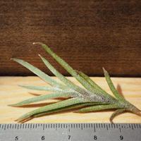 チランジア / カピラリス ジャイアントフォーム (T.capillaris 'Giant Form') *A02/J21